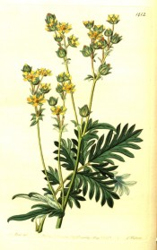 Figured are pinnate leaves and abundant yellow flowers in terminal panicles.  Botanical Register f.1412/1831.