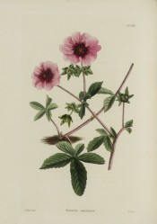Shown are palmate leaves, red-tinged stems and saucer-shaped, dark crimson flowers.  Loddiges Botanical Cabinet no.1031, 1825.