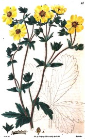 Figured are divided leaves and yellow, five-petalled flowers with a light red centre.  British Flower Garden pl.43, 1829.