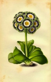 Figured is an Auricula with a spherical umbel of green, blue and white flowers. Maund - The Botanic Garden.