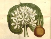 Figured are the rounded, chordate leaf, bulb and umbel of white flowers.  Curtis's Botanical Magazine t.1419, 1811.