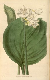 Figured are the ovoid leaf and umbel of white flowers, yellow at the base.  Curtis's Botanical Magazine t.1419, 1811.