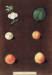 4 varieties of apricot are figured, small white, small orange and 2 large orange, with leaf and blossom. PB pl.XIX/1812.