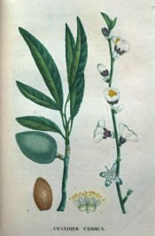 The illustration depicts the common almond, showing leaves, flowers, fruit and seed. Saint-Hilaire Tr. vol.1, pl.7/1825.Prunus d