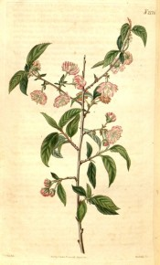 The image shows serrated, ovate leaves and double pink flowers.   Curtis's Botanical Magazine t.2176, 1820.