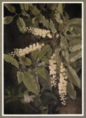 The photograph shows glossy, wavy-edged leaves and long racemes of small white flowers.  Nuttall p.82/1922.