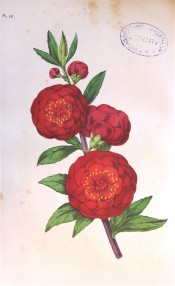 The image shows a very double, very deep red peach flower.  Floricultural Cabinet p.175, 1859.
