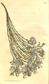 Figured are drooping, nearly leafless branches and pea-like blue and white flowers.  Curtis's Botanical Magazine t.1727, 1815.