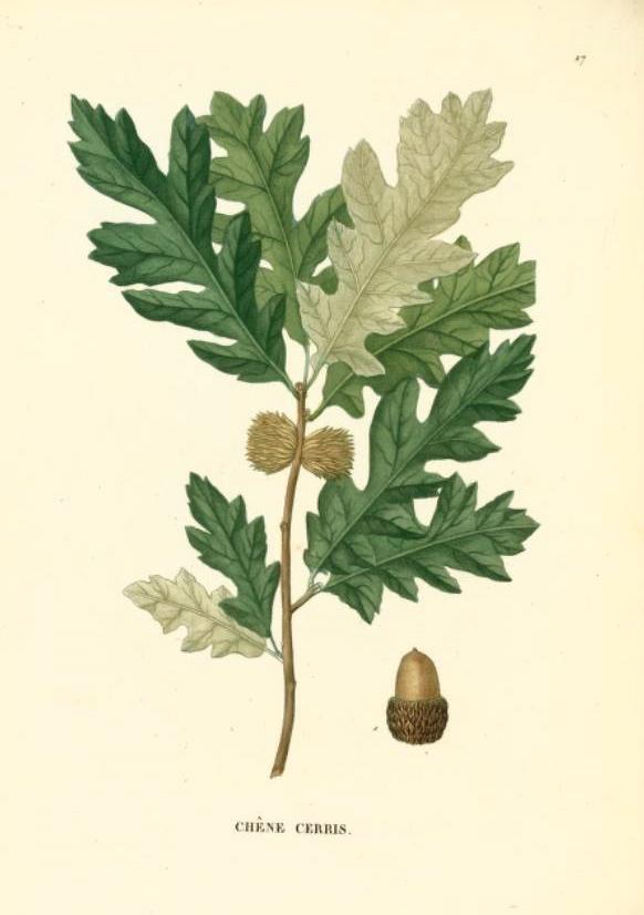 Hortus Camdenensis Quercus Cerris L