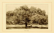 The photograph shows a large, spreading tree with short trunk, with forester for scale.  American Forest Trees p.254, 1913.