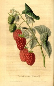 Figured is a smooth shoot with 3-pinnate, toothed leaves and red, segmented fruits. Flore des Serres f.380, 1848.