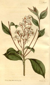 Figured are toothed leaves and loose raceme of white, pink-flushed flowers.  Curtis's Botanical Magazine t.1726, 1815.