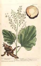 The plant illustrated is not obviously rhubarb.  shown are leaves, flowering spike and roots.  Blackwell pl.262, 1739.