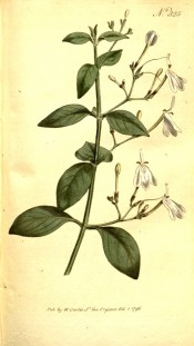 Figured are oblong leaves and loose axillary panicles of white flowers.  Curtis's Botanical Magazine BM t.325, 1796.