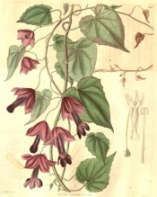 Shown is a climber with pendant stalks bearing tubular, reddish-purple flowers. Curtis's Botanical Magazine t.3367, 1834.