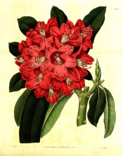 Figured are oblong leaves and a dense truss of tubular-bell-shaped bright red flowers.  Botanical Register f.1414, 1831.