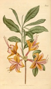 Figured is a single azalea with orange flowers shading to pink.  Curtis's Botanical Magazine t.2143, 1820.