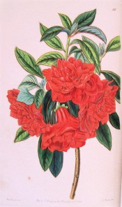Figured is a double azalea with bright red flowers.  Botanical Register f.56, 1842.
