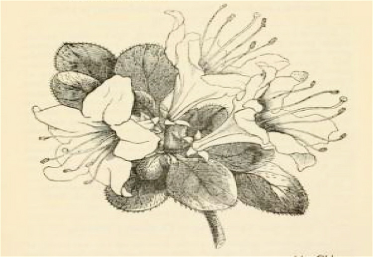 Pink Rhododendron Drawing Drawing of a Single Azalea
