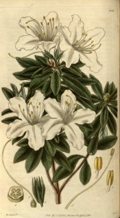 Figured is a single white azalea with large flowers.  Curtis's Botanical Magazine t.2901, 1829.