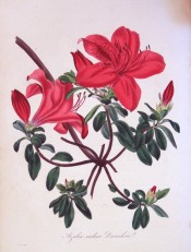 Figured is an Azalea with deep green leaves and single carmine flowers.  Paxton's Magazine of Botany p.129, 1834.
