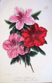 Figured are three azaleas, including Optima, with a bright red, single flower.  Paxton's Magazine of Botany p.55, 1845.
