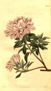 Illustrated is an azalea with pink, very double flowers.  Curtis's Botanical Magazine t.2509, 1824.