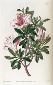 Figured is a single azalea with white flowers streaked with crimson.  Botanical Register f.1716, 1834.