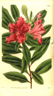 The image depicts a single azalea with bright red flowers.  Curtis's Botanical Magazine t.3239, 1833.