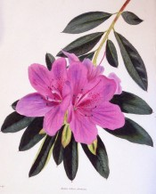 The image shows an azalea with single, rosy-purple flowers.  Loddiges Botanical Cabinet no.1735, 1833.