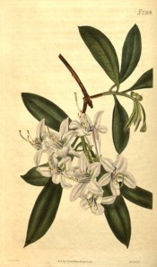 Figured are lance-shaped leaves and cluster of small, whitish-purple flowers.  Curtis's Botanical Magazine t.2308,1822.