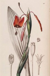 Illustrated are sword-shaped leaves and and semi-pendant, iris-like scarlet flowers.  Botanical Register f.16, 1840.