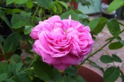 The photograph shows a very double rose with cerise-pink flowers and mid-green foliage.