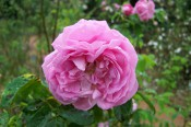 The photograph shows a double pink rose.