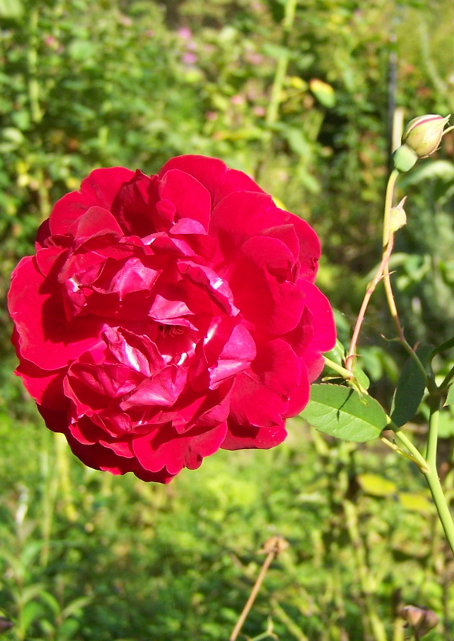 http://hortuscamden.com/images/plants/Rosa_Cramoisie_Superieure.jpg
