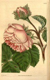 The rose figured has double pink flowers, the flower bracts having fern-like crests.  Curtis's Botanical Magazine t.3475, 1835.
