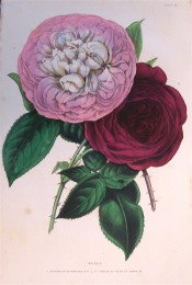 Figured are 2 very double roses, a rich rose pink and a deep crimson.  British Florist pl.52, 1844.