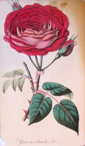 Figured are pinnate leaves and a very double red rose, the petals with silvery reverse.  Floricultural Cabinet. p.73, 1850.