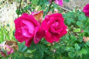 The photograph shows two very double bright red roses.