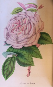 Figured is a large, very double rose in shades of pink and salmon.  Floricultural Cabinet p.297, 1855.