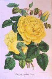 The image depicts a beautiful very double, deep yellow rose.  Illustration Horticole pl.212, 1859.
