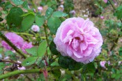 The photograph shows a double rose pink rose.
