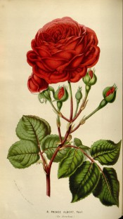 Figured is a scarlet-crimson, very double rose with glossy foliage.  British Florist pl.15, 1841.