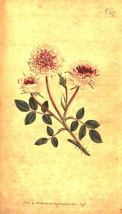 Figured are pinnate leaves and small double white roses with a deep pink centre.  Curtis's Botanical Magazine t.407, 1798.