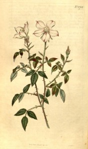Figured is a spiny shoot, pinnate leaves and white, pink-tinged single flowers.  Flore des Serres f.769, 1853.