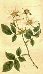 The image depicts a rose with 3-5 leaflets and single white flowers.  Curtis's Botanical Magazine t.2054, 1819.