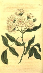 Figured are pinnate leaves and a cluster of small white, double roses.  Curtis's Botanical Magazine t.1954, 1817.