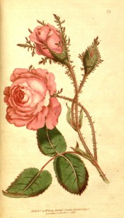 Figured is a double, pale red rose with heavily mossed stems and buds.  Curtis's Botanical Magazine t.69, 1788.