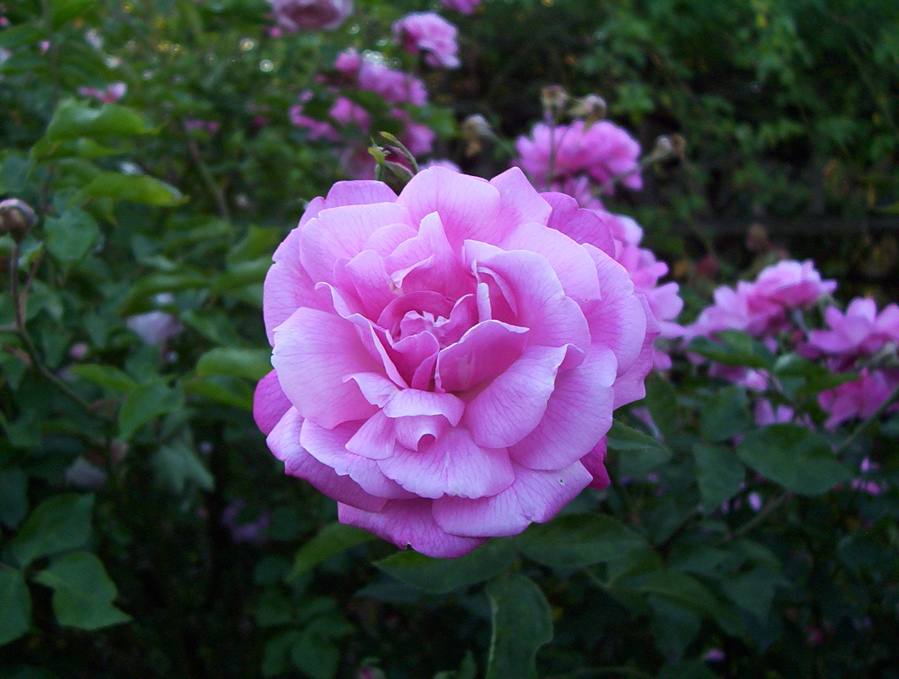 The photograph shows deep pink, double roses, the petals somewhat ...
