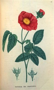 Figured are pinnate leaves, single bright red flower and details of hips.  Saint-Hilaire Tr. pl.142, 1825.